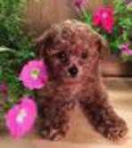 toy, tiny Toy, Teacup Poodle Puppies