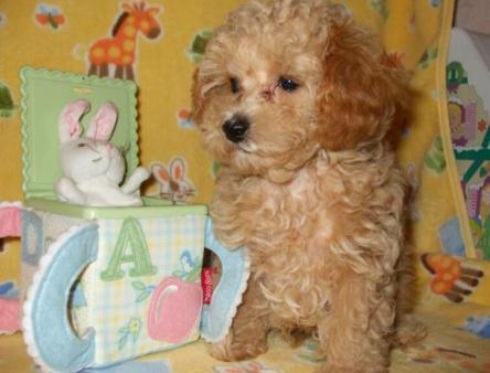 Toy Poodles for Sale,Tea cup Poodle Breeder Maryland, MD